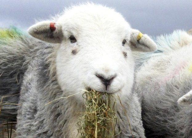 A sheep eating hay