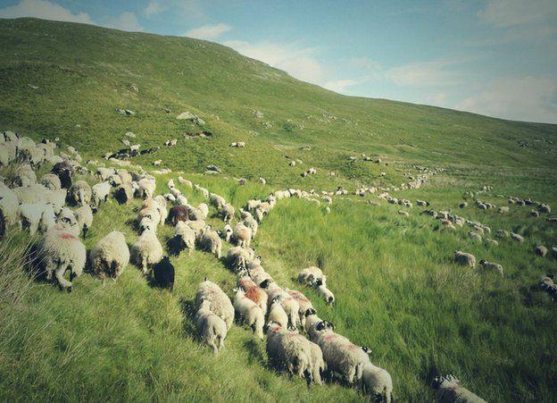 Sheep on a Lake District hill