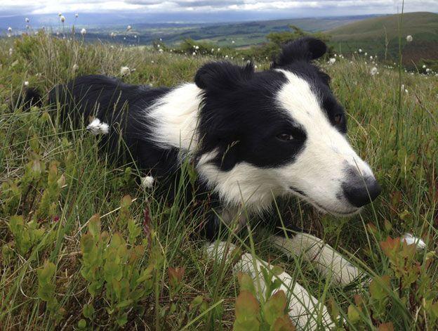 A sheep dog