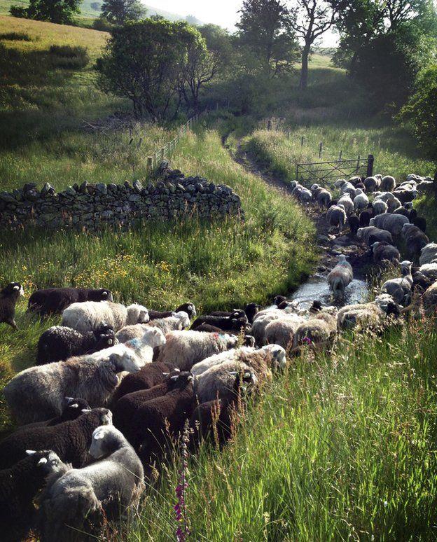 Sheep walking up a stream