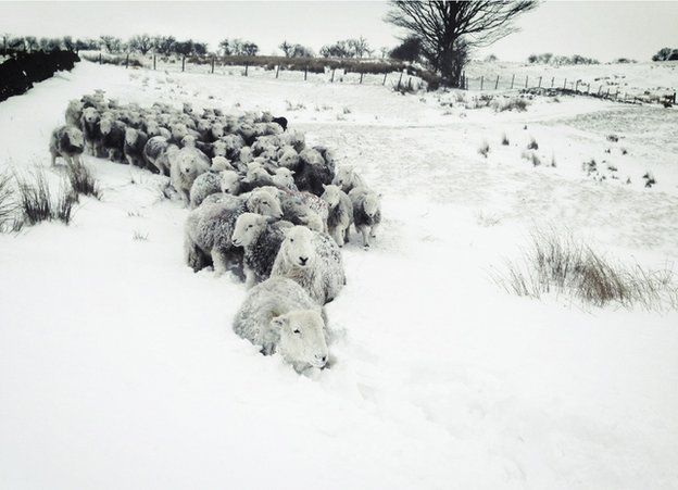 A herd of sheep in snow
