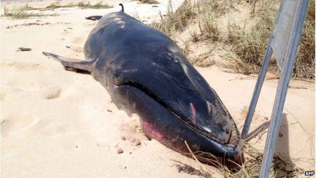 A dead Omura's whale on a beach near Exmouth, Western Australia. 14 Apr 2015