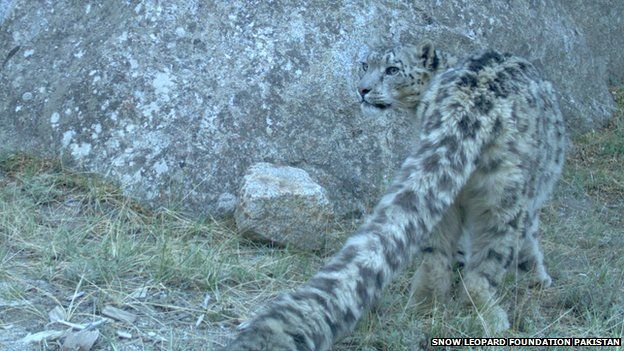 Snow leopard caught on camera