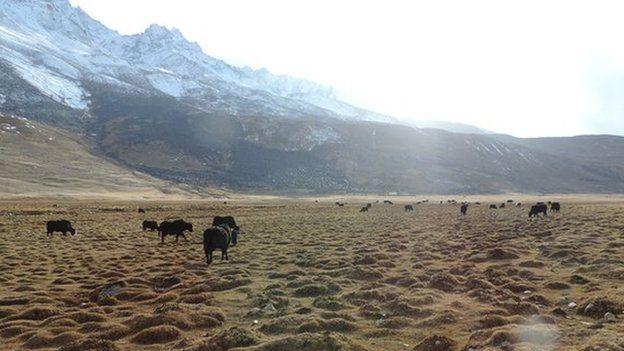 Yaks in a pasture at Shandur Pass