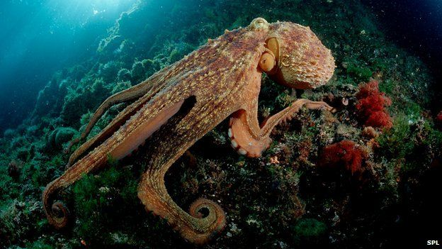 Octopus (c) Science Photo Library