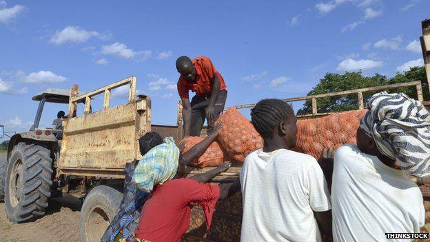 Farmers in Zambia loading potatoes onto a trailer