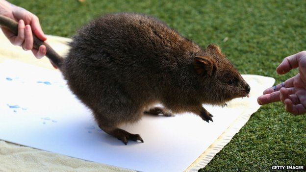 A Quokka leaves paint prints on a canvas at Taronga Zoo on 27 June 2012 in Sydney, Australia