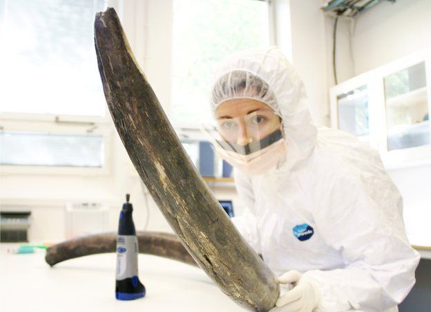 Researcher holding a mammoth tusk