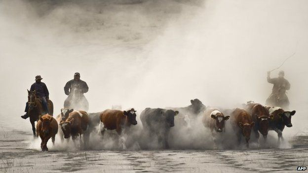Chilean cowboys drive their herd along a road covered with ashes from the Calbuco volcano at La Ensenada on 25 April, 2015.