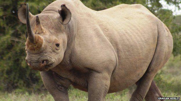 The threatened black rhino