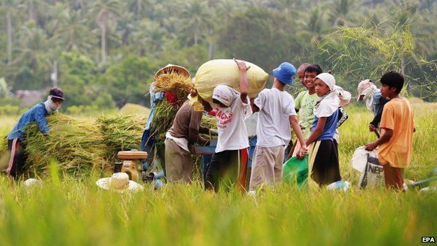 Filipino farmers harvest rice in anticipation of an upcoming typhoon in the town of Matnog, Sorsogon province, Philippines, 09 May 2015