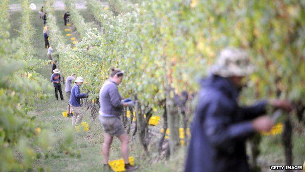 People pick fruit on an Australian farm