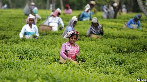 Tea leaf pickers in India