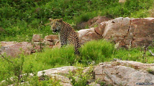 A leopard inside the Kruger National Park in South Africa