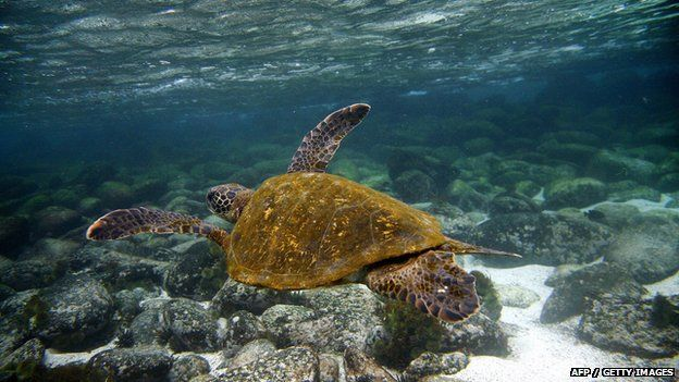 Green sea turtle (Chelonia mydas) swims underwater in San Cristobal island, Galapagos Archipelago, 1 September 2009