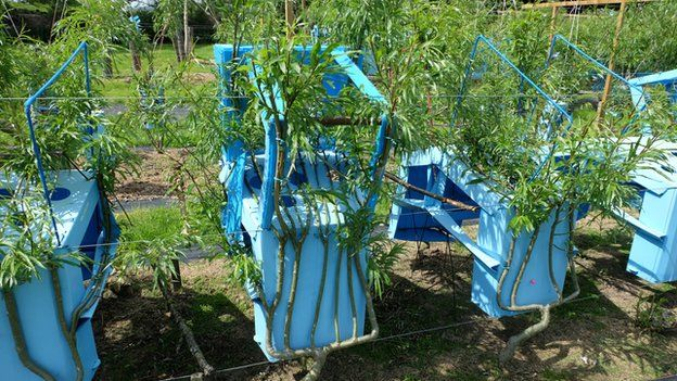 Elegant Young Willows Being Trained To Grow In The Shape Of Chairs