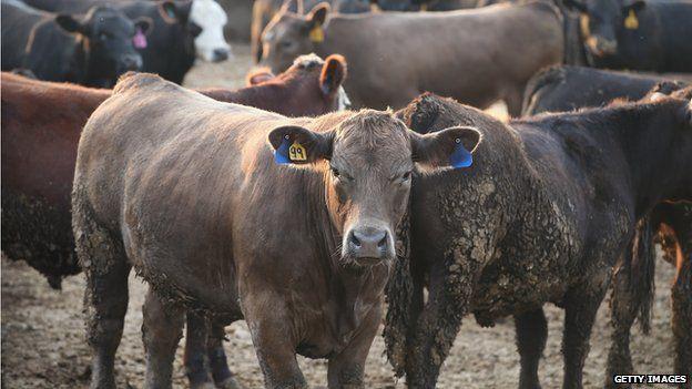 Cattle in Iowa, USA - file pic