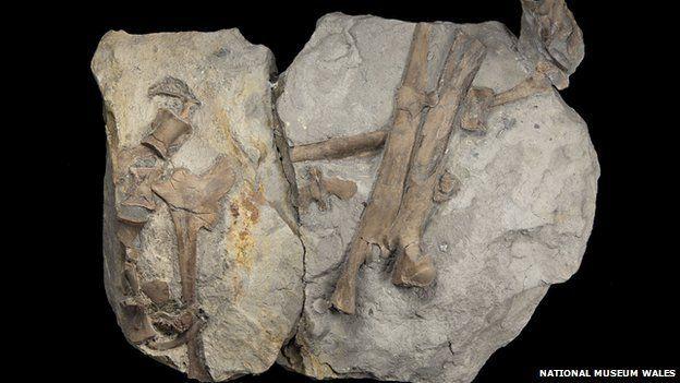 Hip bones of Welsh theropod