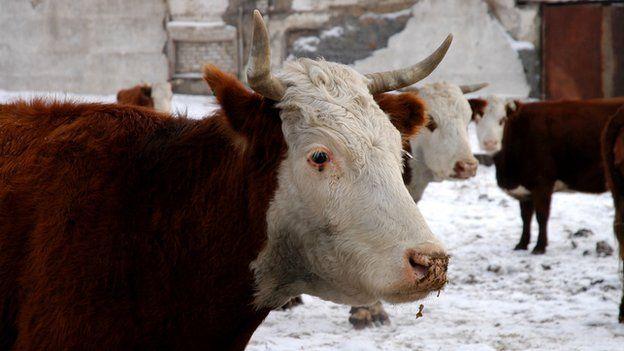 Kazakh cattle