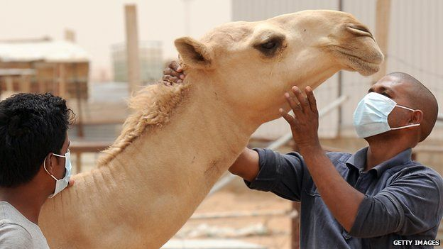 Camel being inspected