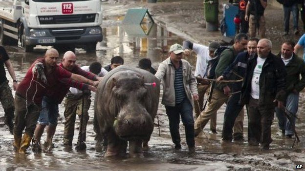 People help a hippopotamus escape from a flooded zoo in Tbilisi, Georgia on 14 June 2015