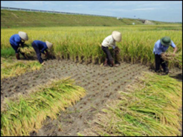 Nông dân gặt lúa