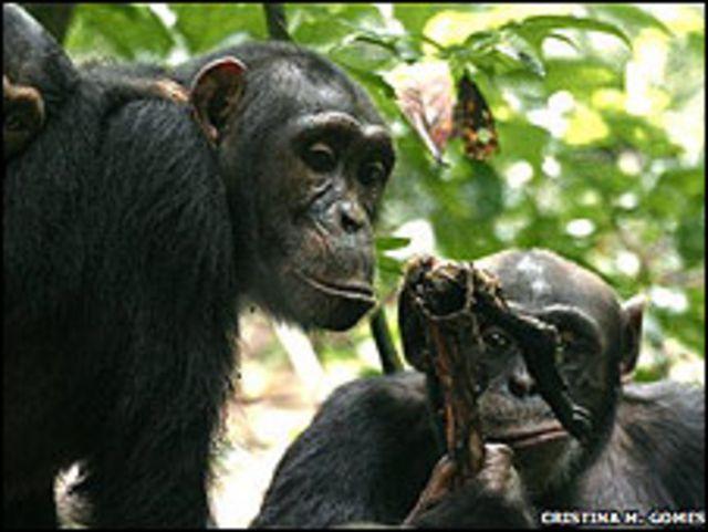 Chimpancé macho comparte carne con hembra