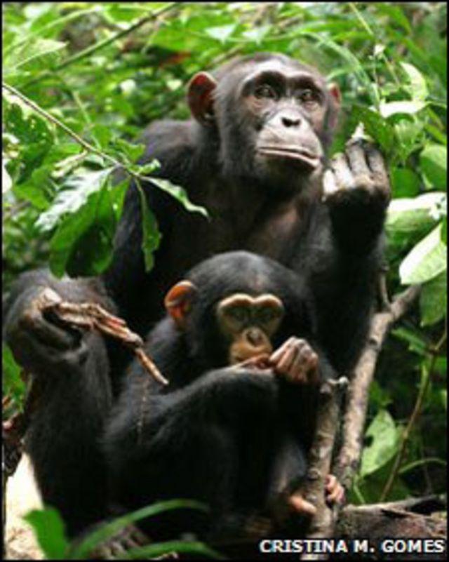 Chimpancé hembra con cría