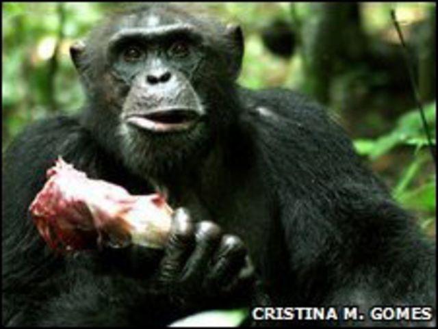 Chimpancé comiendo carne