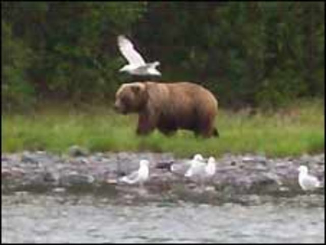 Gấu nâu
