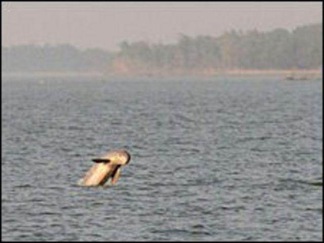 Delfin Irrawaddy