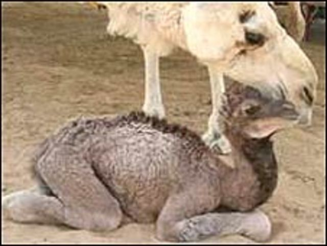 Injaz con su madre sustituta (FOTO: Laboratorio Central de Investigación Veterinaria)
