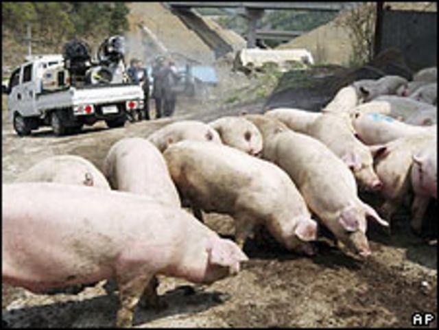 Cerdos en una granja en Corea del Sur.