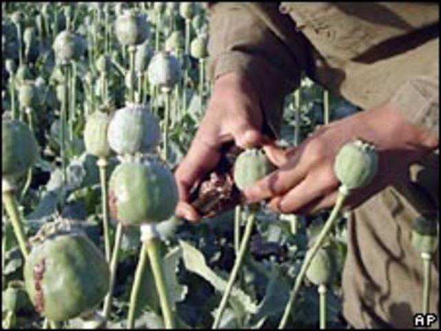Agricultor afgano recoge semillas de opio en la provincia de Helmand.