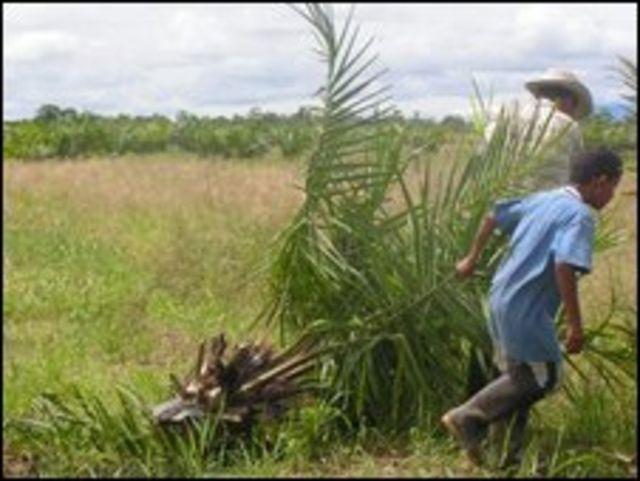 Afrocolombianos arrancan una planta de aceite de palma