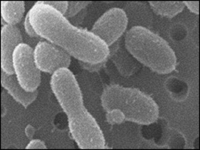 "Bacteria ""Herminiimonas glacei"" (foto de Jennifer Loveland-Curtze)"