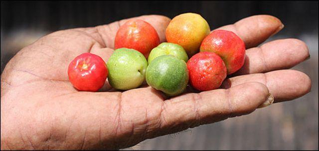 La mano de un agricultor en Brasil sostiene acerolas, frutas muy ricas en vitamina C