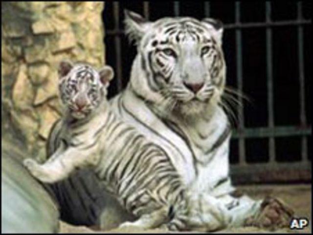 Singa Membunuh Harimau Putih Bbc News Indonesia