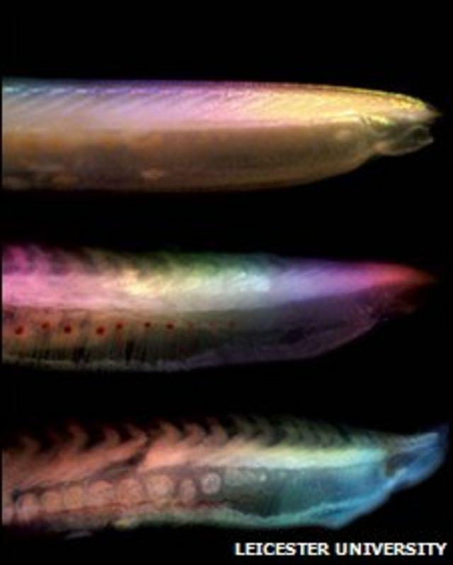 Tres pescados podridos (FOTO: Universidad de Leicester)