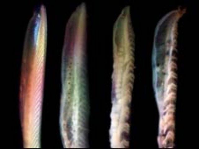 Cuatro pescados podridos (Foto: Universidad de Leicester)