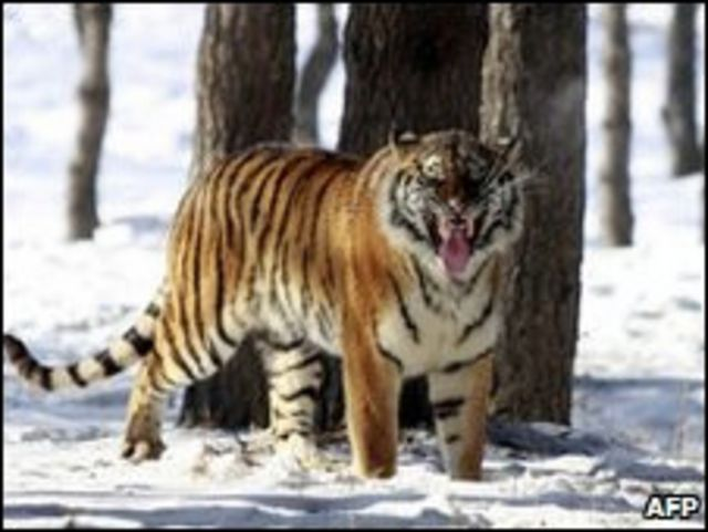 Harimau Siberia
