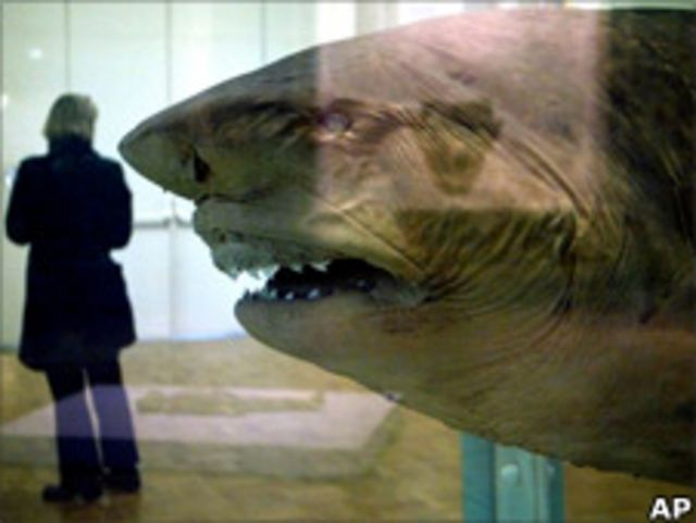 муляж акула