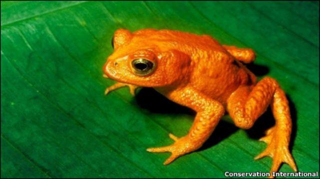 Золотистая лягушка
