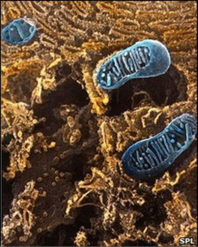 митохондрии в клетке