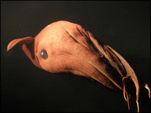 Calamar vampiro. Foto Stephen Downer