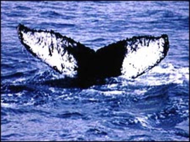 Las marcas en la cola de cada ballena jorobada son únicas.