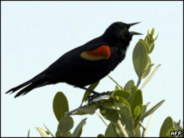 北美紅翅鶇鳥