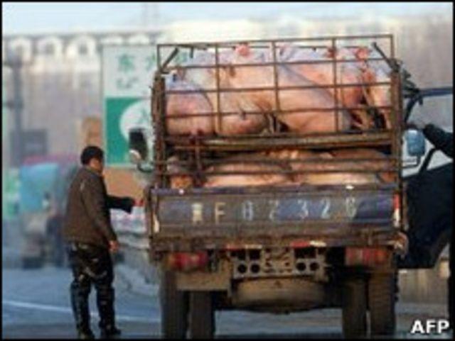 一輛運豬車在北京某高速公路上停靠在路邊進行檢查(8/12/2010)