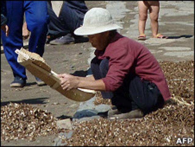 平壤郊外某集體農場內居民在曬穀(23/9/2010)