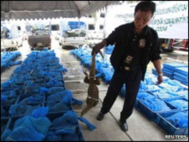 泰國南部海關人員截獲了1800條孟加拉巨蜥